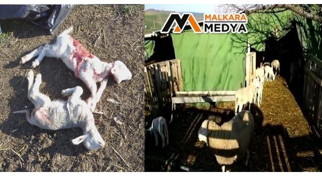 Çoban köpeği bağlı olunca sokak köpekleri 2 kuzuyu parçaladı