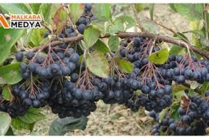 Anavatanı Kuzey Amerika olan Aronya'nın Tekirdağ'da hasadı başladı